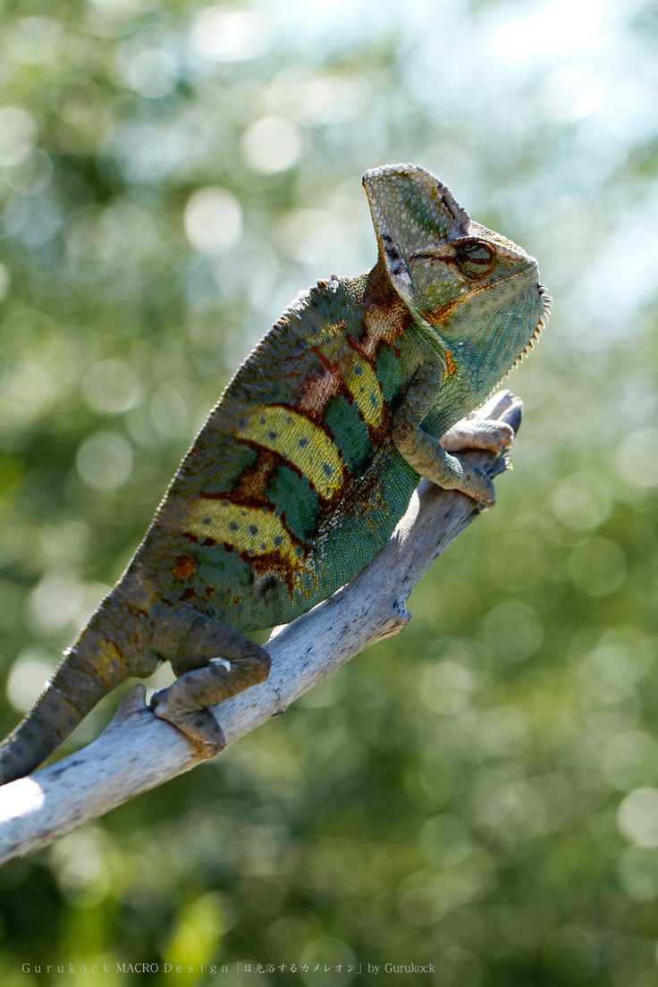 Best Reptiles Images On Pinterest Chameleons Lizards And - Someone gave their chameleon a miniature sword to hold and now everyones joining in