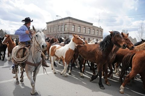 wild horse roundup Three Forks, Montana: running through town where they are corralled -