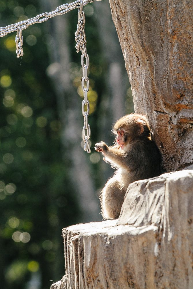 Japanese macaque  by nao