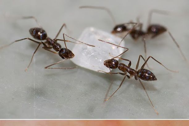 how to kill sugar ants outside