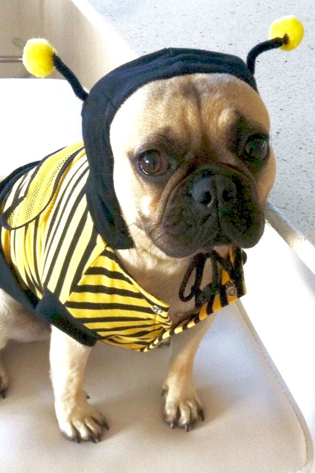 Olive The French Bulldog In Her Busy Bee Outfit They Look So