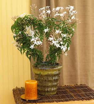 picturesque best large house plants. 24 Beautiful Blooming Houseplants 2920 best TREES  SHRUBS VINES images on Pinterest