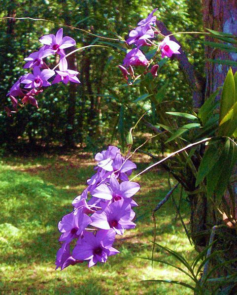 File:Cooktown orchids.jpg