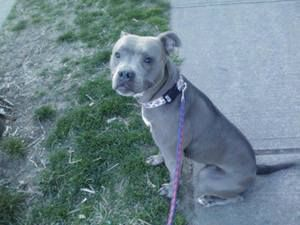 Storm: Pit Bull Terrier, Dog; South Orange, NJ