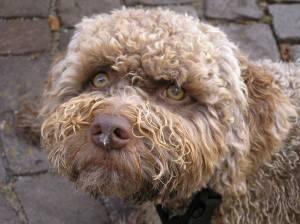 Lagotto Romagnolo dog named Tosca  Amore a prima vista
