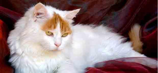 Chat Turc du lac de Van: une race de chat qui aime l'eau