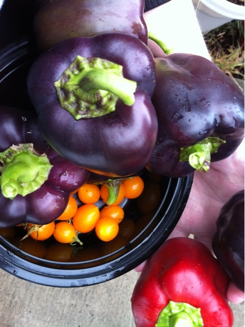 Last harvest from my garden for the year: Purple bell peppers, orange cherry tomatoes