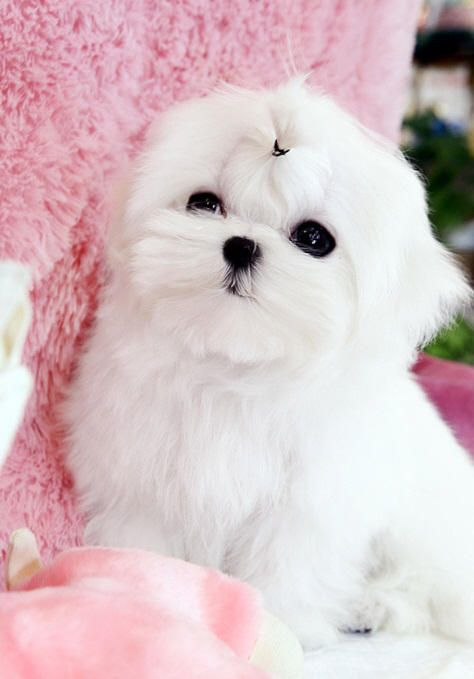 white teacup maltese best 25 teacup maltese puppies ideas on pinterest 9943