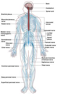 anatomy and physiology in nursing school | what is anatomy and, Human Body