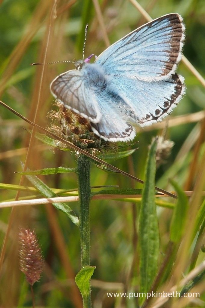 A male Chalk Hill Blue Butterfly, Polyommatus coridon, at Pewley Down Nature Reserve in Guildford.