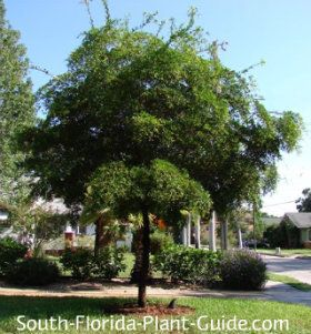 Shady Lady Black Olive Tree.  Branches have small spines that can prick your fingers.