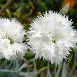Dianthus plumarius Haytor white - Oeillet mignardise blanc