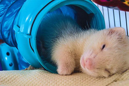 Essential Ferret Checklist:  Make sure you have these supplies on hand before your new ferret comes home.