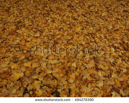 Autumn maple leaves on the ground