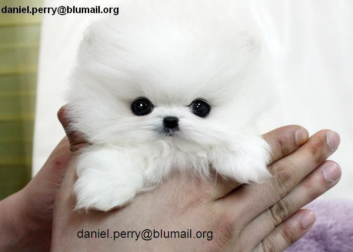 teacup pomeranian puppies adoption 1000 ideas about free puppies for adoption on pinterest 7731