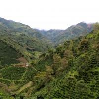 Coffee plantation, Colombia