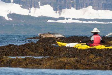 Robben, Wale und Polarfüchse... eine Kajaktour in Islands Wildnis! Hier findest du tolle Angebote...