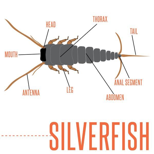do you know about silverfish learn more about silverfish and how to get rid of them with a home. Black Bedroom Furniture Sets. Home Design Ideas
