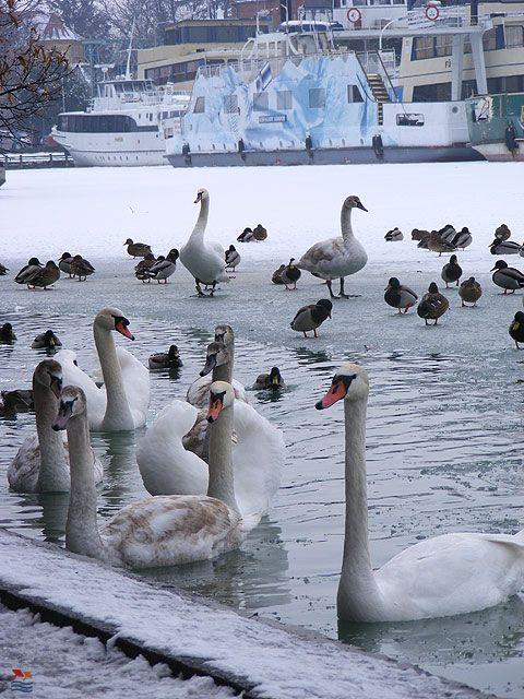 Balaton, Hungary#swans
