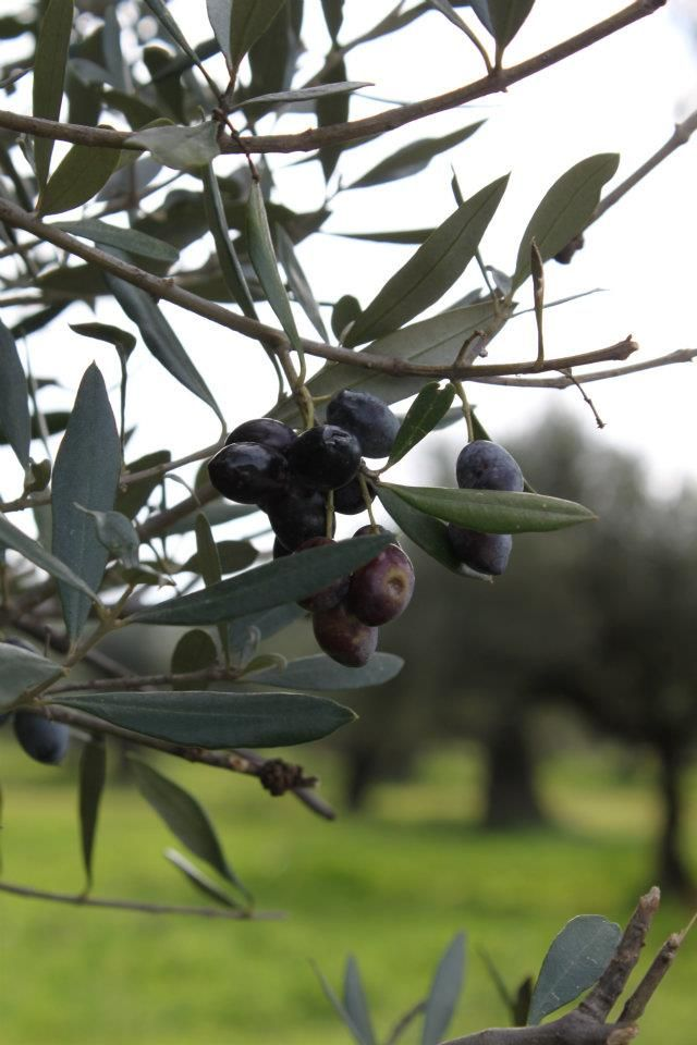 Olives in abundance at the Monastery
