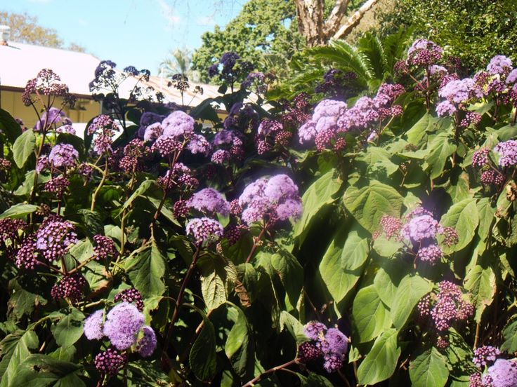 Love this mauve fluffy bush, have one at our place. On full display, Laurel Bank Park