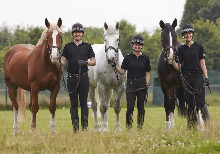 Three of Greater Manchester Police horses who were winners in the Animal Hero Awards 2016, sponsored by the RSPCA and The Daily Mirror. Hexam, Captain and Tangle won in the Public Service Animal of the Year category. They were nominated after they stayed calm after coming under sustained attack while policing a major football match. www.gmp.police.uk