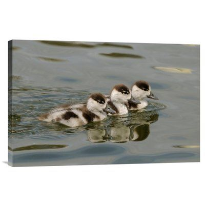 East Urban Home 'Common Shelduck Three Ducklings, Swimming Together, Slimbridge, Gloucestershire, England' Photographic Print Size:
