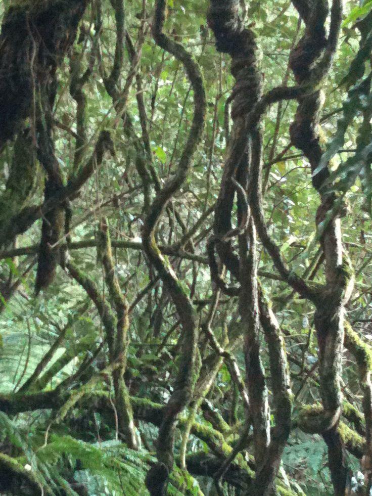 Peeking through the tangle - The Thousand Steps, Mt Dandenong NP