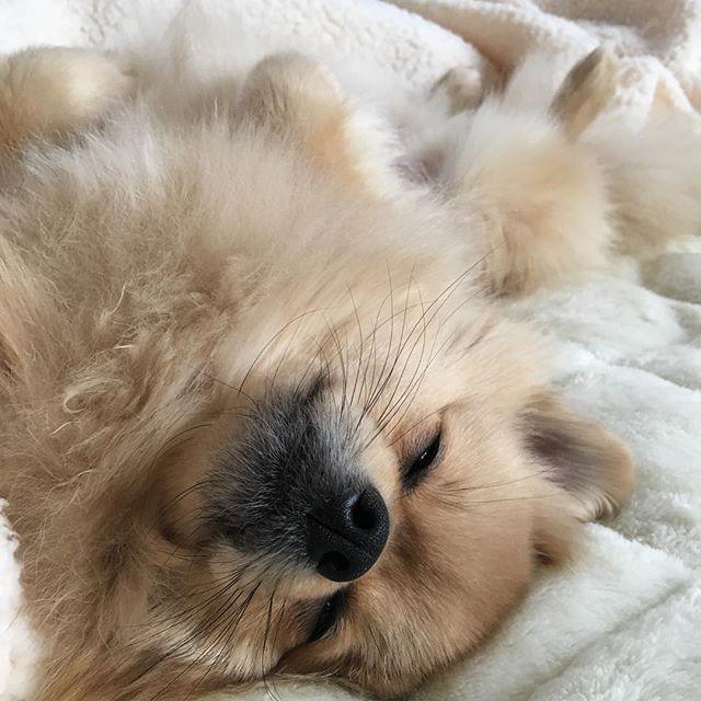 天使💕癒されます #天使 #わんこ大好き💕 #わんこ部 #マックス  #レオ #ポメラニアン#ポメラニアン部 #愛犬 #ウルフセーブルポメラニアン #ホワイトクリームポメラニアン #超可愛い#大好き#癒し #もこもこ #もふもふ #ふわふわ
