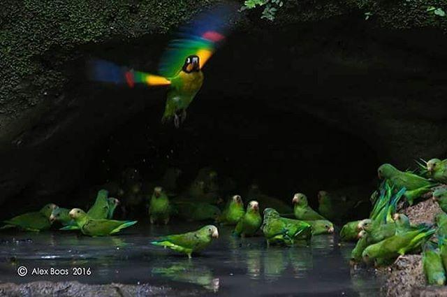 Theorange-cheeked parrot(Pyrilia barrabandi)en la.Amazonía #Yasuni  Vive tu mejor #aventura con #Rutaviva#TravelTheWorld  Encuentra cientos de DESTINOS y HOTELES en  www.rutaviva.com  _____________________________________________ Photo:  @alexboasphoto  #AmoEcuador #ViajaPrimeroEcuador#FeelAgainInEcuador  #Ecuador#FamiliaViajeraEcuador  #allyouneedisecuador #travelblogger #mochileros #natgeotravel #EcuadorTuLugarEnElMundo #LikeNoWhereElse #amor  #AllInOnePlace#instatravel #TraveltheWorld…