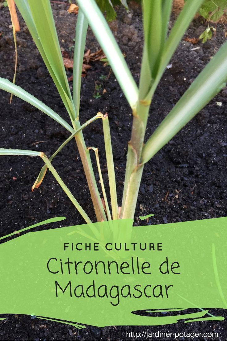 Fiche culture citronnelle de Madagascar