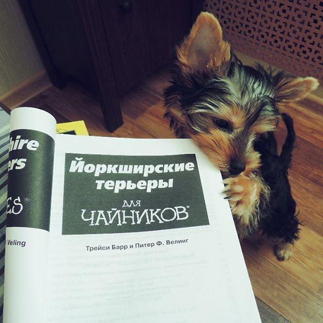«Йоркширские терьеры для чайников». Книга нам пришлась по вкусу!  #йорки #йорик #йоркширскийтерьер #yorkie #yorkshirterrie #book #readdog #грызугранитнауки #длячайников #yorkshirterrierpuppy #yorkshirterrier #fundog #doglife