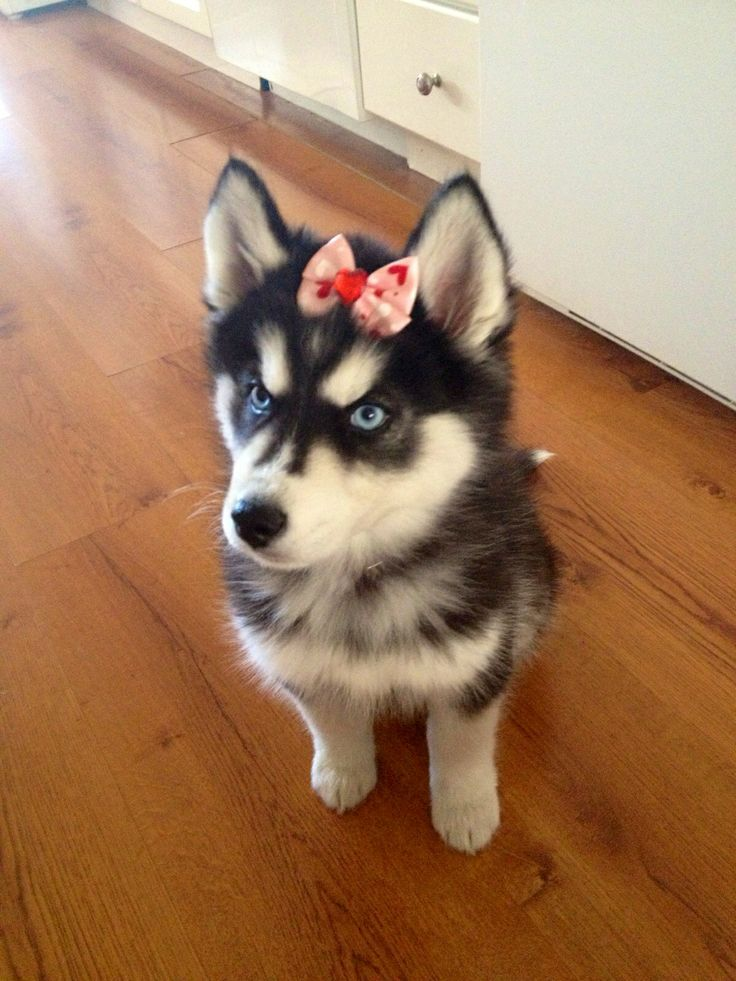 Best 25+ Husky wolf mix ideas on Pinterest | Wolf husky ...