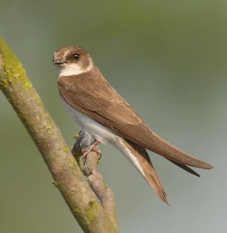 Sand Martin | Sand Martin - Riparia riparia - This was taken during the summer of ...