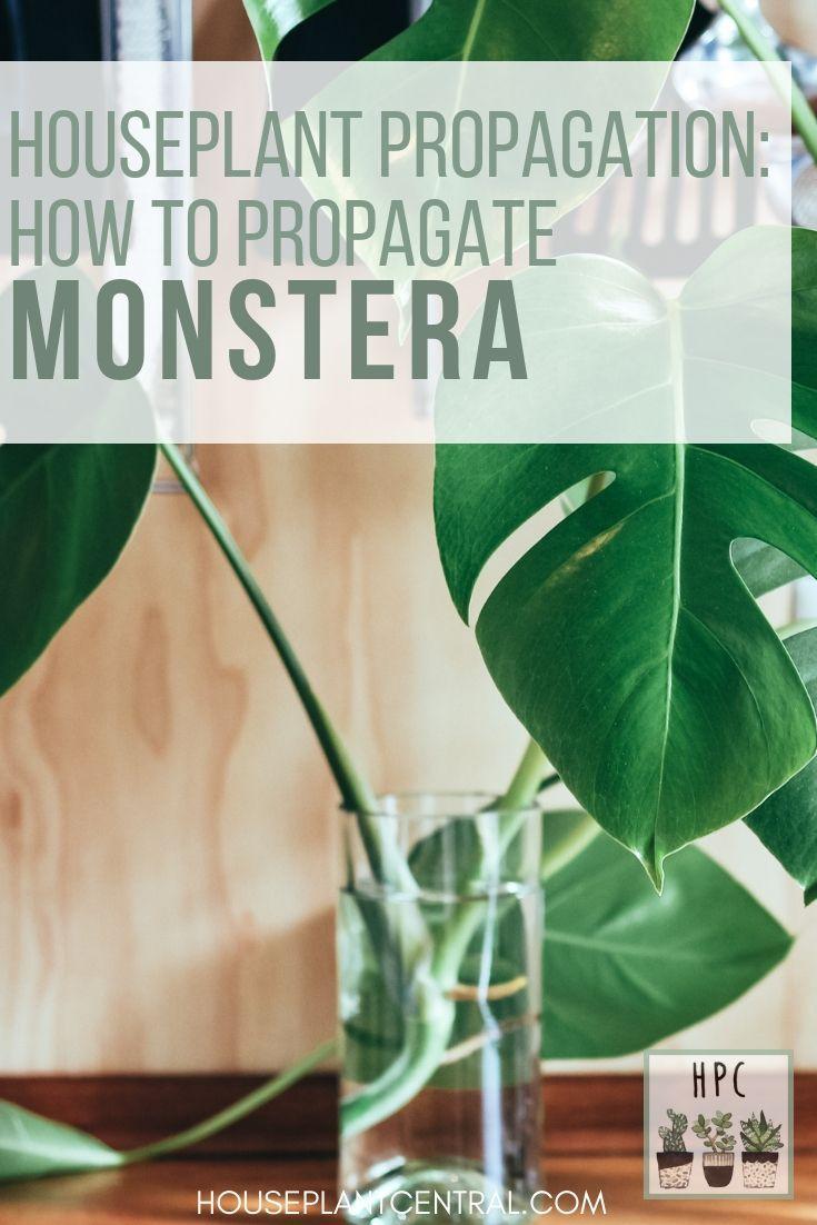 Propagating Monstera All About Monstera Propagation Houseplant Central Plants Monstera House Plants