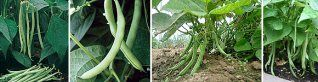 10 Tips For Growing Bush Beans | Blue Lake, Kentucky Wonder