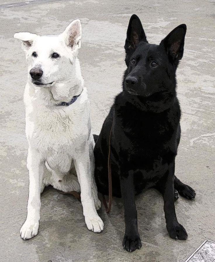 Black and White #German #Shepherd #dogs