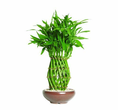 Brussel's Lucky Bamboo, Pineapple by Brussel's Bonsai. $43.47. Chinese symbol of good fortune. Bamboo is the perfect accent to any room. Easy care favorite. Dracaena sanderiana. 3 Years old; 20 inches tall. In China, Lucky Bamboo is thought to bring good fortune. Although it is not considered bonsai, this unique plant is very elegant and extremely easy to grow. In order to display your lucky bamboo, simply secure the canes in the decorative rock and fill the container with wat...