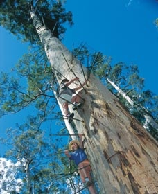 The Gloucester Tree, a fire lookout post in Pemberton, south west Western Australia.