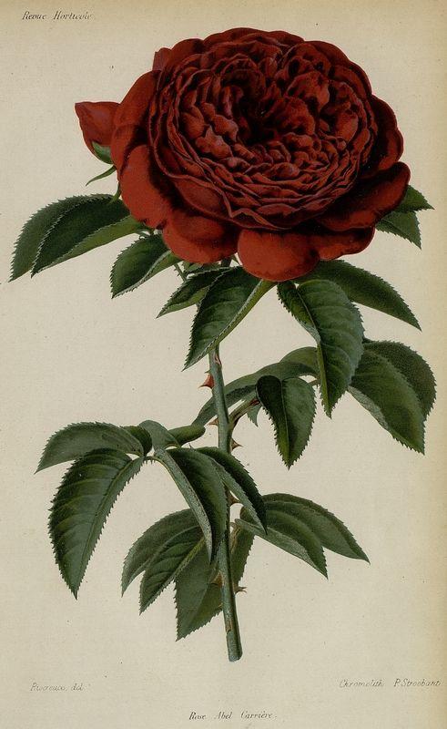 SNHF | Rose Abel Carrière