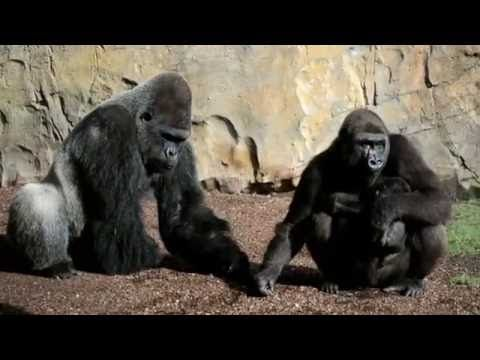Bebé gorila con 7 semanas de vida. Bosque ecuatorial de BIOPARC Valencia. Más información: www.bioparcvalencia.es
