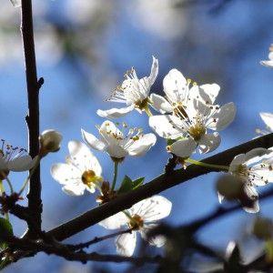Mirabellenbaum - Nein Danke! | Heimische-Wildpflanzen.de