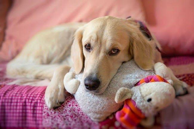 Jak walczyć z psią sierścią w domu