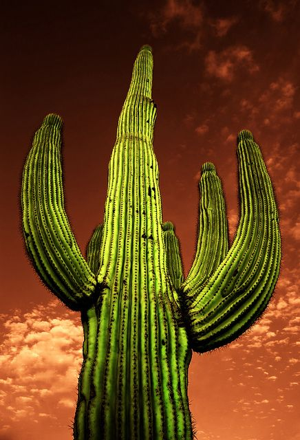 Infrared Saguaro Cactus from the Saguaro National Park in Tucson Arizona, USA