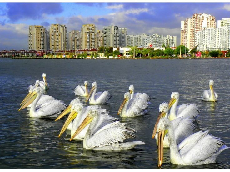 KARSIYAKA Izmir.... Pelicans.... There are also Flamingos.....a famous Bird Park/Sanctuary is there in Karsiyaka!