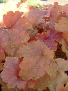 Coral bells - a shade perennial in many colors