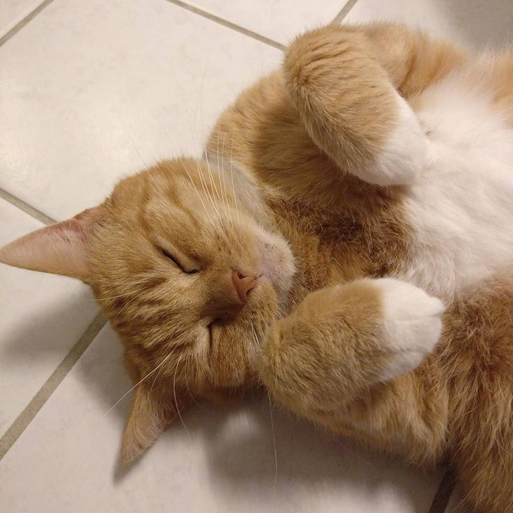 The #cat is begging for a #bellyrub