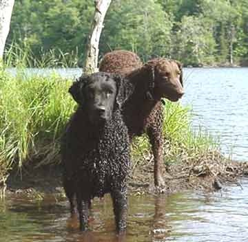 121 best images about curly coated retriever on pinterest