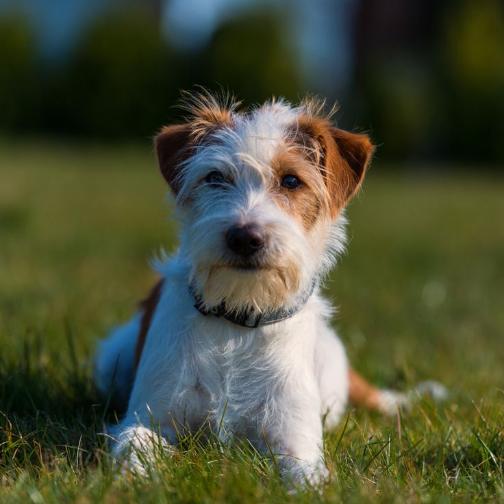 7 best Lori Look-alikes images on Pinterest | Doggies, Dog breeds ...