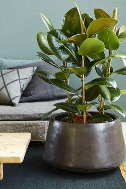 Gummiplante - Gummiplante Gummifiken (Ficus robusta) er en livskraftig og lettstelt plante med store, blanke mørkegrønne blader. Den liker å stå lyst men tåler også å stå litt inn i rommet.